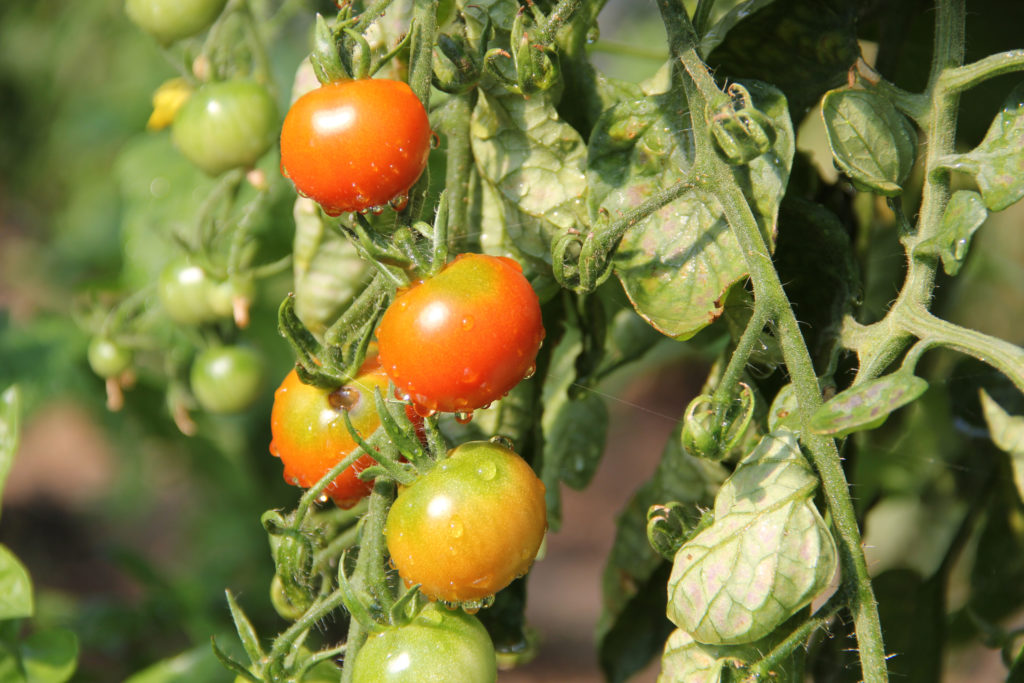 Folientunnel Tomaten